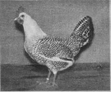 friese_zilverpel_hen